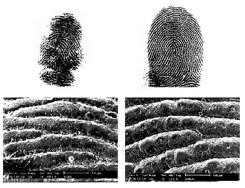 無尾熊指紋「跟人類太像」連法醫也傻眼 愛闖案發現場「當嫌犯」警察超頭痛