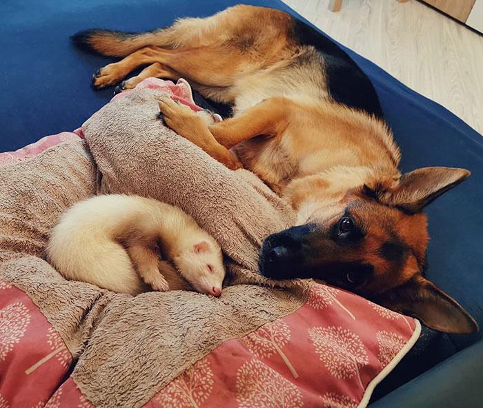 霸氣大狼犬與小雪貂的「超暖友誼」 牠被「吃死死」的溫馨舉動笑翻網友!