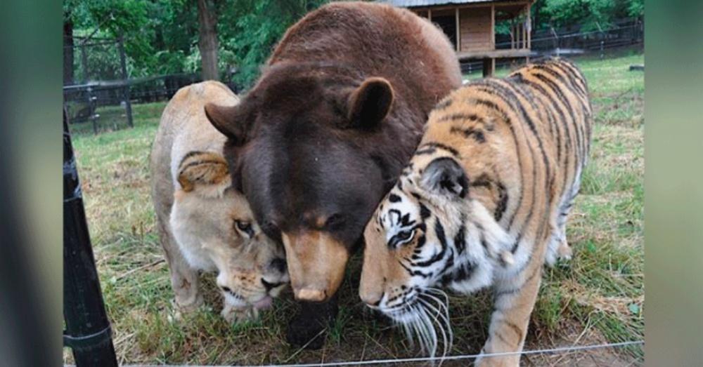 3隻猛獸從小「一起關地下室」有陰影 長大變「超級好朋友」互相照顧到老!