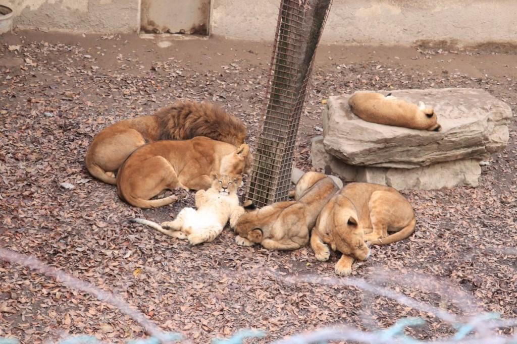 小獅寶寶超萌睡姿!爽到「翻肚子+白眼」呆萌模樣融化網友:真的是大貓❤