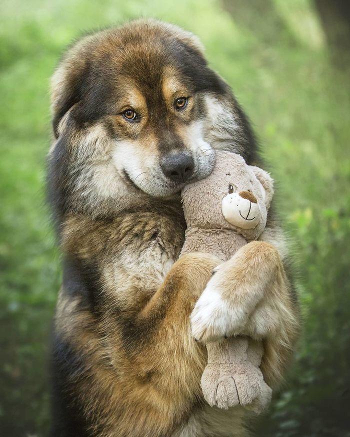 14張證明「藏獒一點都不可怕」的超Q照片 牠呆萌抱娃娃:我可愛嗎?