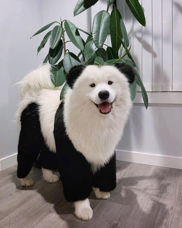 這不是貓熊!萌犬「黑白身體+熊耳朵」爆紅 超討喜模樣被封:最可愛狗熊❤