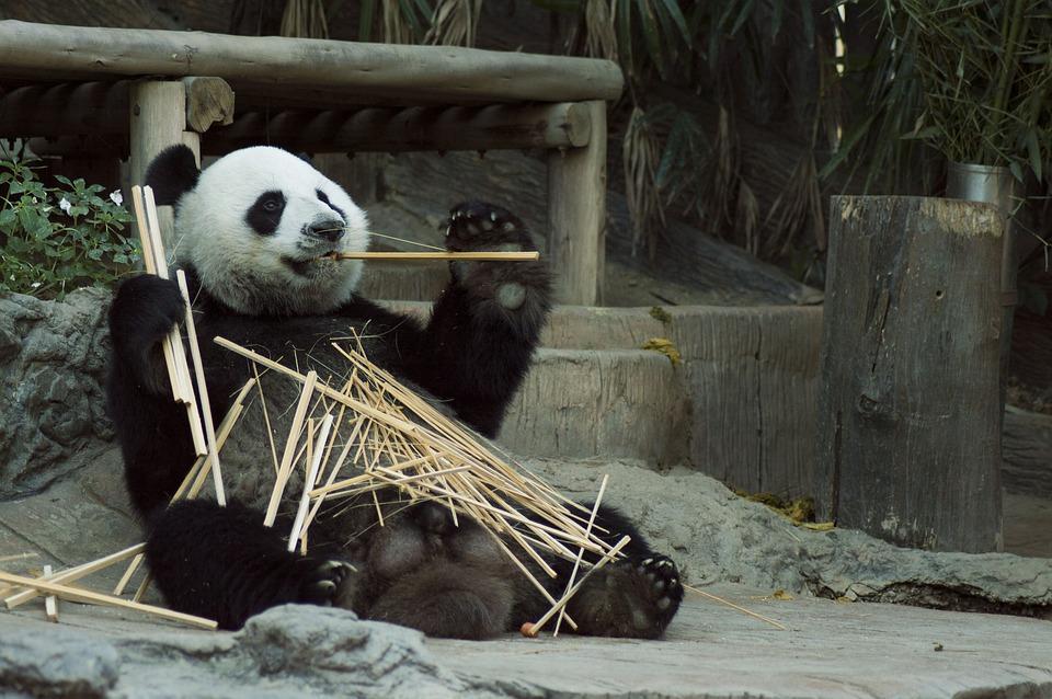 中國動物園被爆「招聘工讀生」扮演貓熊!年薪「高達300萬」工作內容是…躺著吃竹子