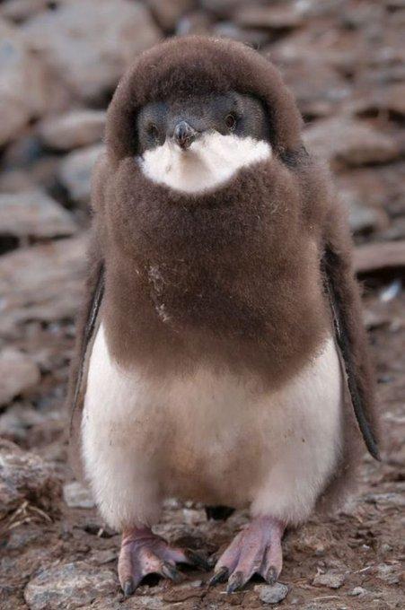 他捕捉到「企鵝換毛過渡照」的獵奇模樣 網笑翻:比奇異果還醜...