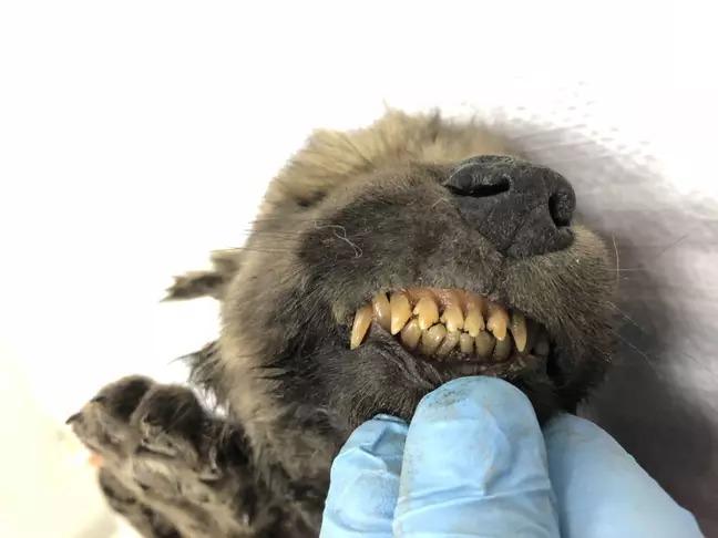 科學家在「冰凍隧道」挖出世界最老的狗 年齡「1萬8千歲」狀態還很完美!