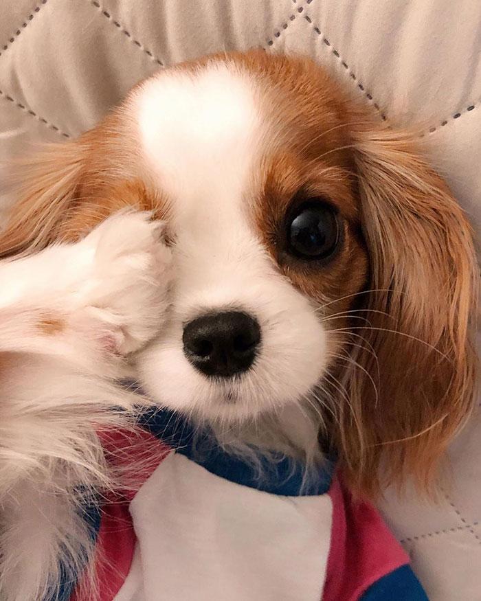 迷你「口袋型獵犬」狂吸17萬粉絲 超萌「水汪汪大眼」讓你一秒溶化❤