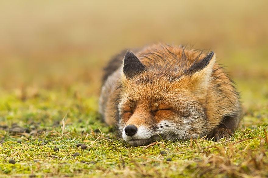 攝影師超愛拍「瞇瞇眼狐狸」 逮到時間「就閉眼」比人類還懂享受