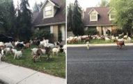 最新生意「山羊出租」!把100隻山羊放到社區「幫除草」意外引發流行