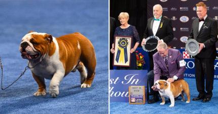 2019最佳狗狗大賽「鬥牛犬索爾」獲得冠軍 訓練員讚:牠完美到像一場夢