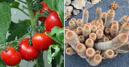 植物也有情緒!研究發現「番茄、煙草被剪時」會發出哭泣聲:它們有感知能力