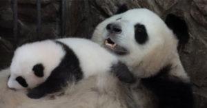 影/熊貓媽「抖肥肚」療癒畫面爆紅 寶寶「睡到翻掉」網被融化:最暖搖籃❤