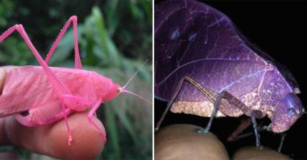 他意外捕捉「500分之1機率」可愛昆蟲 一出生就自帶「桃紅濾鏡」超少女!