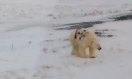 北極熊身上「被惡意噴上字幕」超醒目 學者擔心「生存狀況」嘆:牠會餓死!
