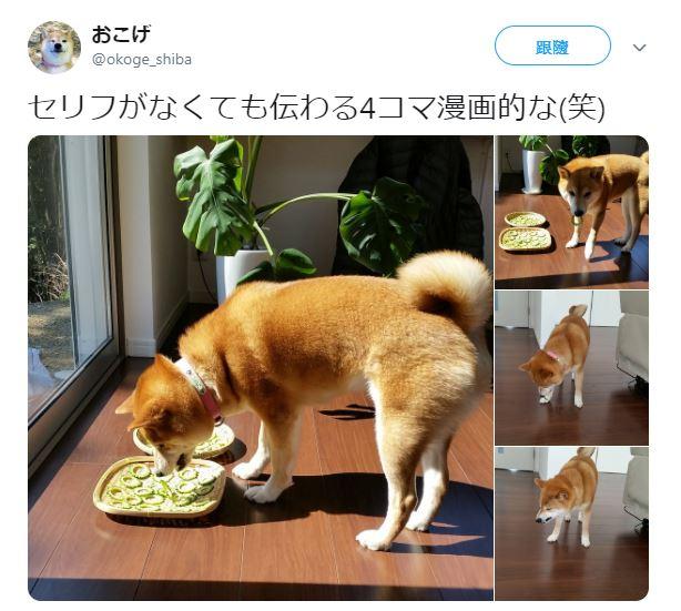 貪吃柴犬「誤吃苦瓜」踢到鐵板 牠「苦到皺臉」太可愛:以後不敢貪吃了!
