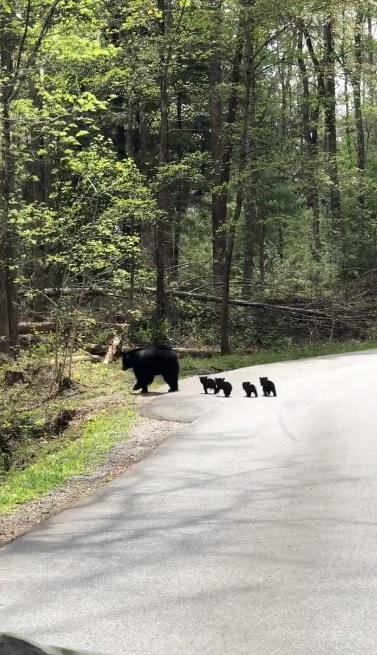 影/黑熊媽「帶寶寶過馬路」畫面超可愛 毛球「乖乖跟上隊伍」讓人秒融化❤