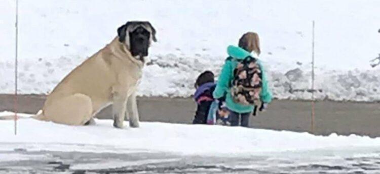 工作是每天「接送小主人」上下學 超大狗坐門口「確定上車」才安心回家