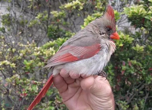 北美紅雀「紅白色羽毛」照片超仙 曝光「罕見生理構造」網嚇傻:雌雄同體!