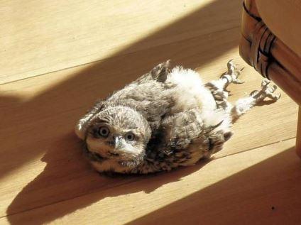 貓頭鷹竟然會盤腿坐!他貼出「日常休息照」畫面超驚人 網:工讀生別裝了
