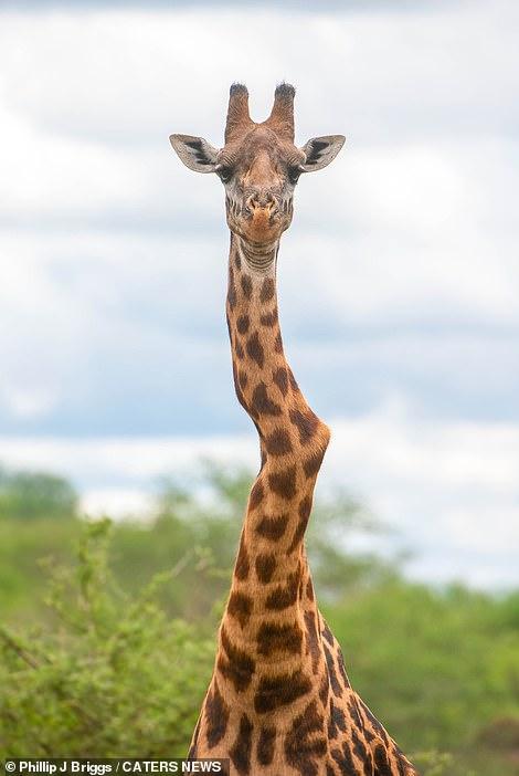 肯亞長頸鹿「脖子疑似骨折」畫面登上新聞 專家警告「牠很脆弱」網友超心疼!