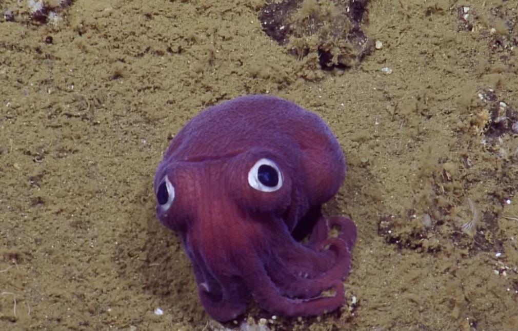 研究團隊海底驚見「紫色大眼」的超萌烏賊 揭開原型意外撞臉「章魚哥」!
