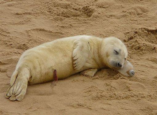 小海豹悠閒躺沙灘「對鏡頭揮手」 下秒困惑搔頭動作實在太可愛❤