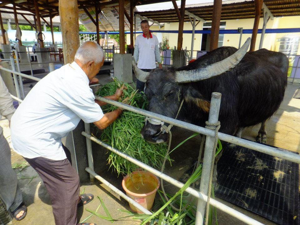 117歲老牛不吃不喝 見主人最後一面「吃光牧草」後…睡夢中變天使