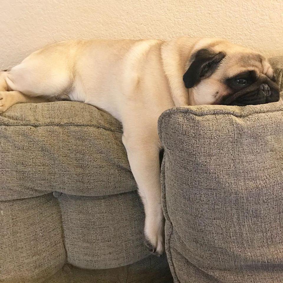 史上最Chill「懶散胖巴哥」鬆到爆紅 整隻「掛把手」還能睡成平面!