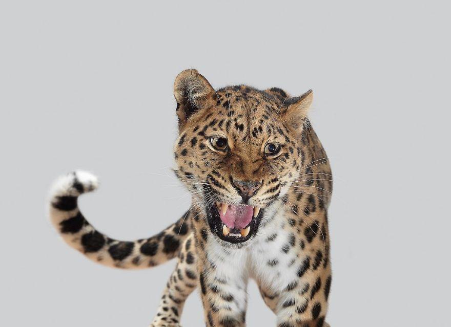 兇猛大貓「世紀唯美寫真集」爆紅 黑豹化身「呆萌中年大叔」讓網融化❤