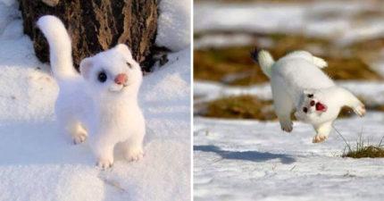 雪地「純白小精靈」超像羊毛氈娃娃 真實身份竟是「超猛獵捕者」還會變色!