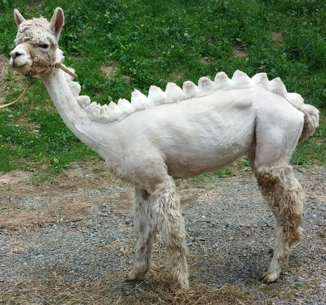 20張「羊駝被造型師惡整」的超爆笑剃毛照 跑起來還以為是恐龍!
