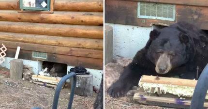 影/家中地板傳出「詭異爬行聲」房主嚇壞 往下一看才發現...居然是黑熊!
