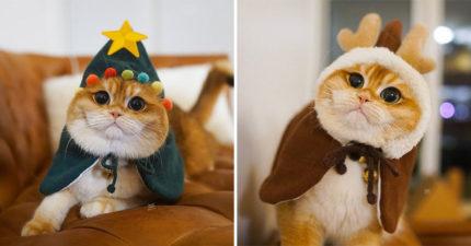 圓臉短毛貓被主人各種Cosplay 變身「整棵聖誕樹」Q到超想吸❤