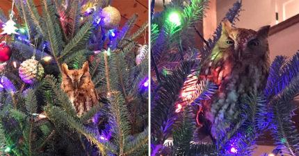 聖誕樹的「貓頭鷹吊飾」突然眨眼?10歲女童被嚇到崩潰 近看發現竟是活的!