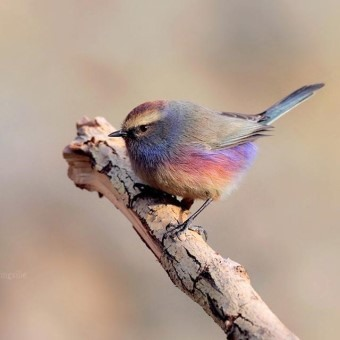 鳥界顏值Top1!網瘋傳超美「七彩精靈鳥」被讚翻:根本是從仙境來的❤