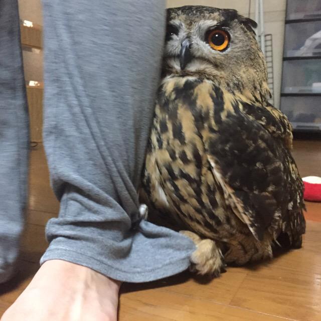 貓頭鷹「見到陌生人秒害羞」畫面瘋傳 牠緊抓主人褲腳「躲身後」超可愛!