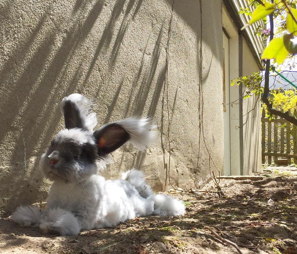 史上最萌網美兔!牠因為一雙「翅膀飛行耳」爆紅 第一眼看還以為是狗❤