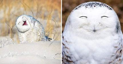網瘋傳「彌勒佛系貓頭鷹」超Q照 仰天長笑...可愛到不科學❤