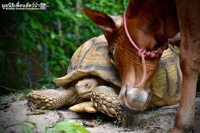 殘疾牛和老烏龜「跨族群友誼」爆紅 牠把「朋友當枕頭」畫面超感人❤