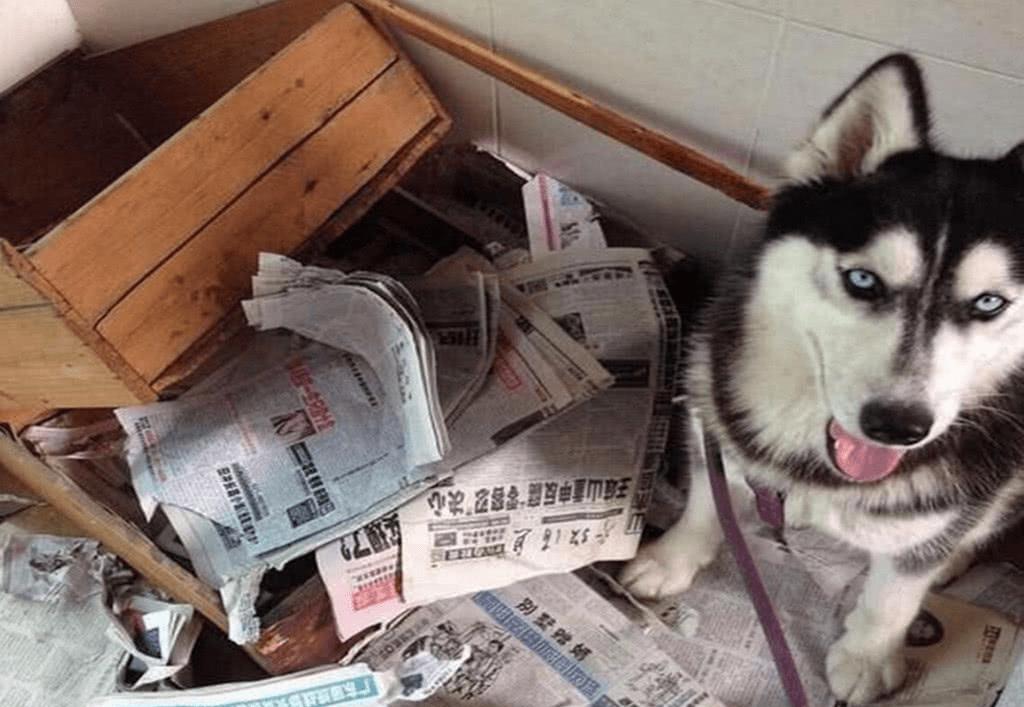 他慘被闖空門哈士奇被偷 3天後「小偷親送回家」崩潰:你的狗欺人太甚!