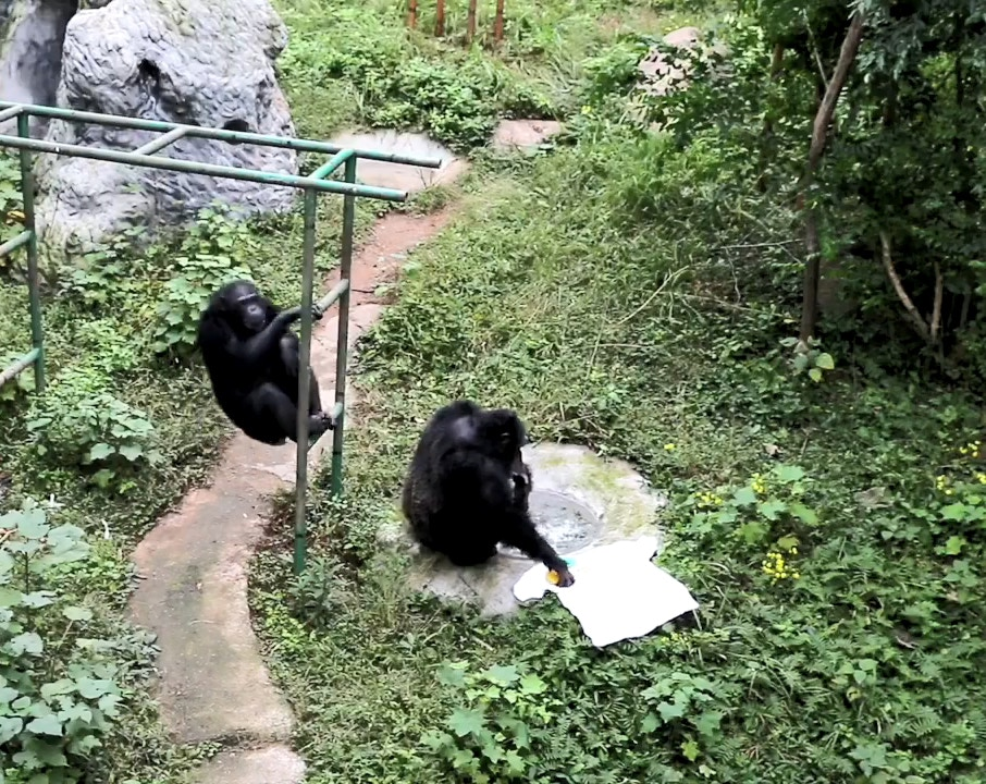 黑猩猩也會洗衣服!牠平常「觀察飼養員」學習 「超專業手勢」比人類還熟練
