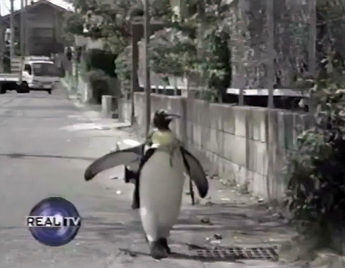 呆萌企鵝背購物袋「幫自己買魚」畫面爆紅 飼主報心碎現況:已經當天使