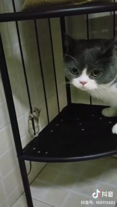 小老鼠爬到一半「對視貓皇」手滑空降 網看到「超驚恐表情」笑:傑利鼠快逃!