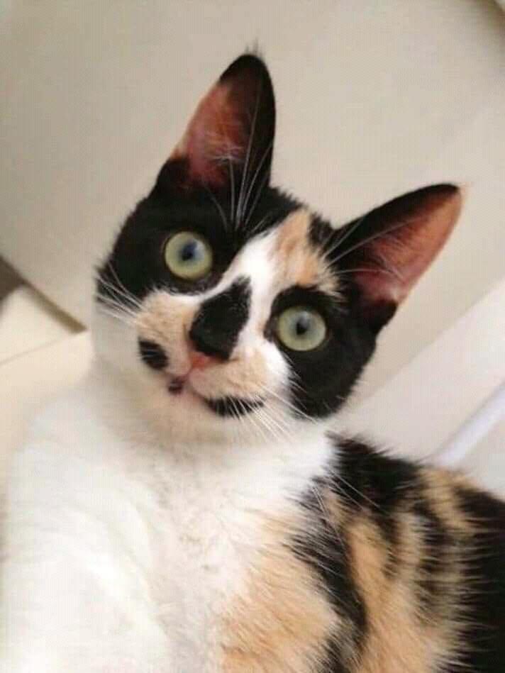 網瘋傳「被上帝惡整的」黑白貓照 自帶超殺「陷阱妹眼線」❤