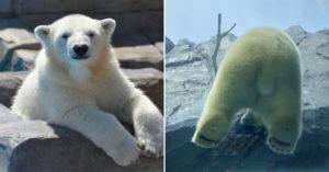 用超療癒「屁屁視角」偷窺北極熊 肥嫩熊掌+尾巴「全被看光」遊客擠翻動物園!