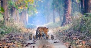 印度虎保育有成!首見「母虎帶5幼虎」穿越森林超溫馨畫面