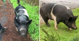 180公斤寵物豬走丟!警察託「鄰居保管1小時」回來變「一盤豬肉」