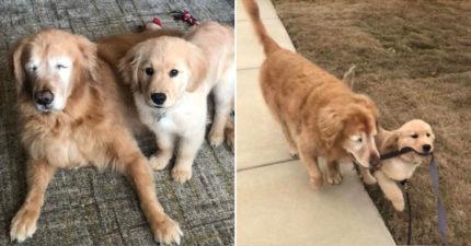 小黃金變「導盲犬的導盲犬」照顧哥哥 超貼心「撿玩具陪散步」融化全網!