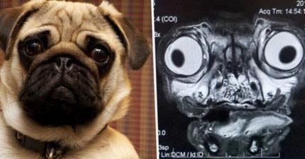 他分享「巴哥MRI照片」畫面太衝擊 網友見「超巨瞳孔」嚇:我看了什麽…
