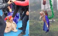 中國樂園「逼豬高空彈跳」攬客 牠「怕到尖叫」發言人:反正過年也會被宰!
