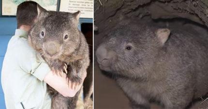 為了躲澳洲野火…袋熊「自挖避難所」拯救其他動物 網讚:比政府有領導力